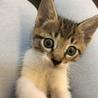 可愛い子猫★キジ白(うす茶)★甘えん坊でワンパク★