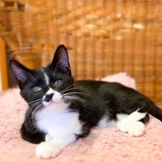 人懐っこい茶白黒男子 先住猫さんOK