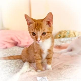 人懐っこい茶トラ女子 先住猫さんOK