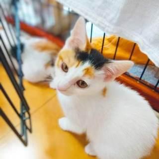 元気な三毛猫のみらいちゃん 3か月