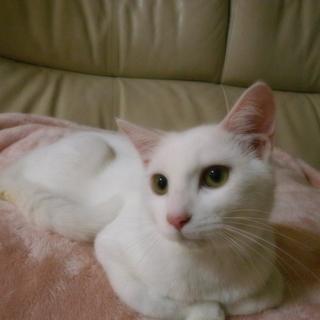 白猫2兄弟(男の子 5~6ヶ月)