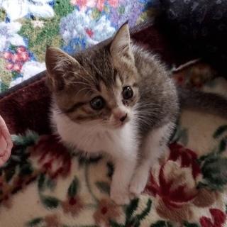 生後1〜2ヶ月の子猫ちゃん★男の子