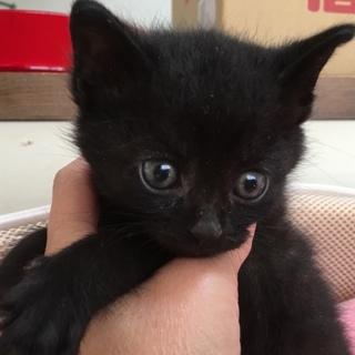 保健所レスキュー☆黒猫ミッキー君1ヶ月半