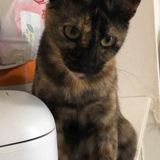 初心者OK!スリゴロのサビ猫@約2〜3歳