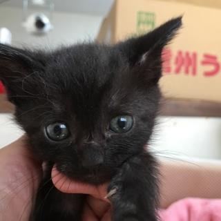 保健所レスキュー黒猫ベルちゃん1ヶ月半