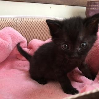 保健所レスキュー黒猫ミニーちゃん1ヶ月半