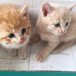 生後一か月程度の兄弟子猫