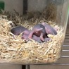 ゴールデンハムスターbaby 両親共に長毛種