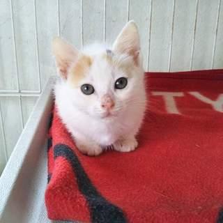 三毛の可愛い仔猫みなちゃん