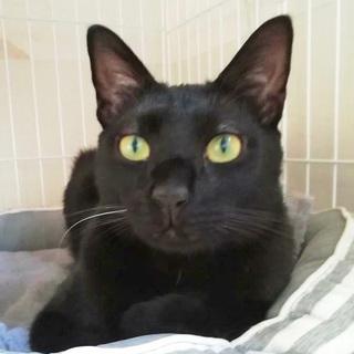 ツヤツヤ光る黒猫男子ペペロン