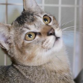 アビシニアン風な子猫です♪