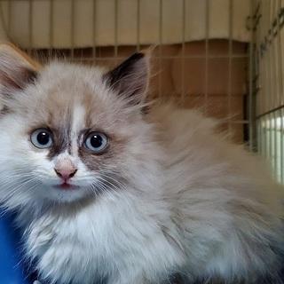 長毛でふわモコの子猫ちゃん