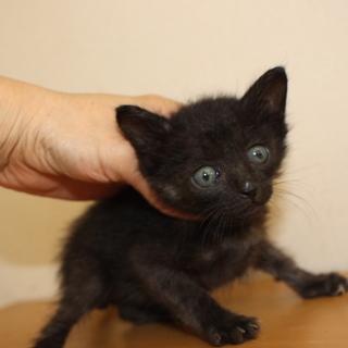 クリクリお目目の赤ちゃん黒猫 ほーく君