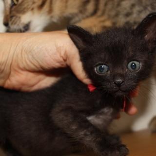 くりクリお目目の赤ちゃん黒猫 なたーしゃちゃん