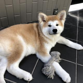 秋田犬の4ヶ月の女の子