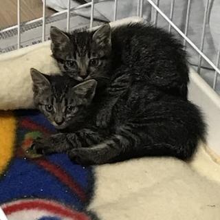 台風の日に迷い込んできたキジトラ仔猫2匹