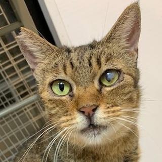 【小平市】スルメ★落ち着いた7歳のママ猫
