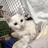 子猫 白 メス 3.4ヶ月