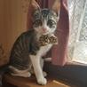 5月生まれの子猫 ラッキーボーイ ボンチッチ♂