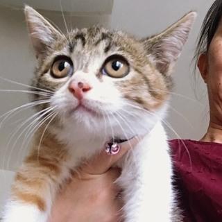 【生後2ヶ月】好奇心旺盛な美猫のキジミケちゃん