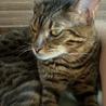 ベンガル猫雄 2歳 血統書付 健康  サムネイル5