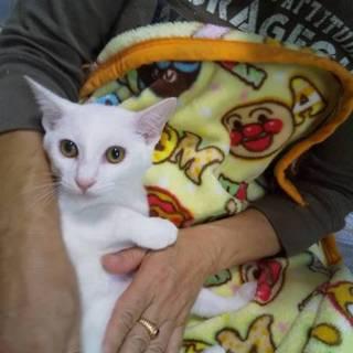 ちょっとビビリだけど抱っこOKイケメン白猫 かん