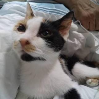 スリゴロ美人の三毛猫さん あこちゃん