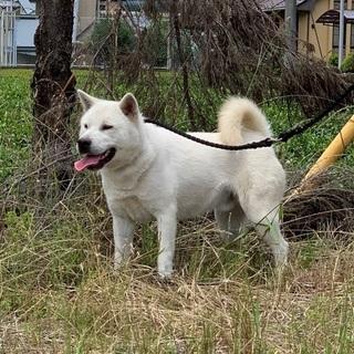 紀州犬の男の子
