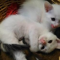 シロの仔猫たち