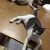 人も猫も大好き!きれいなサバ白オス サムネイル3