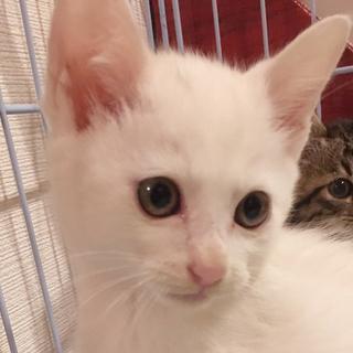 募集一時停止ふわふわ白猫男子★ルキ君