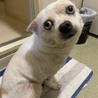 可愛くて人なつっこい白犬です