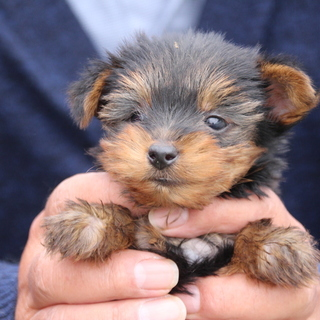 ヨーキーの子犬
