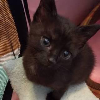 可愛い黒猫の男の子・タルト