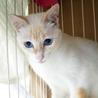 怖がりだけど美しいクリーム色の美猫パドメ