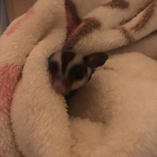2歳のフクロモモンガです。飼育経験者でお願いします