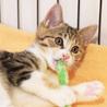 抱っこでゴロゴロが止まらない♡美形の三毛猫ピリカ サムネイル2