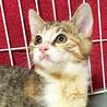 抱っこでゴロゴロが止まらない♡きれいな三毛猫ピリカ サムネイル3