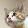 抱っこでゴロゴロが止まらない♡美形の三毛猫ピリカ サムネイル7