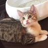 抱っこでゴロゴロが止まらない♡美形の三毛猫ピリカ サムネイル6