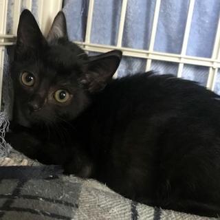 小顔でキュートな黒子猫 生後2か月