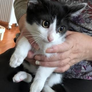 抱っこ大好きはちわれ子猫 生後2か月