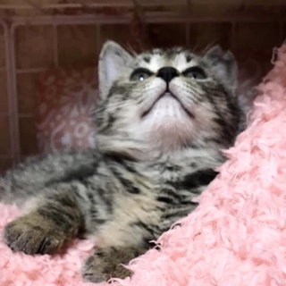 甘々の膝乗りキジトラ子猫 ズルイくらい可愛い