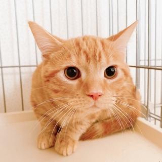 おっとり優しいマンチカンの子猫ちゃん♪