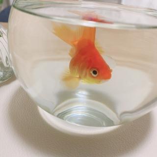 丸くて可愛い金魚