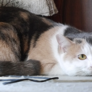 大きな目の大人しい薄色三毛猫