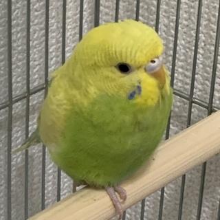 3〜4ヶ月の幼鳥です!