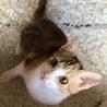 パステル三毛の子猫です(11/10の譲渡会に参加 サムネイル2