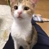 パステル三毛の子猫です(11/10の譲渡会に参加 サムネイル3