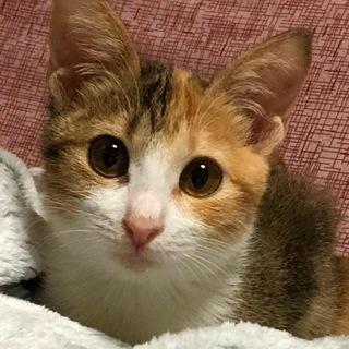 パステル三毛の子猫です(11/10の譲渡会に参加